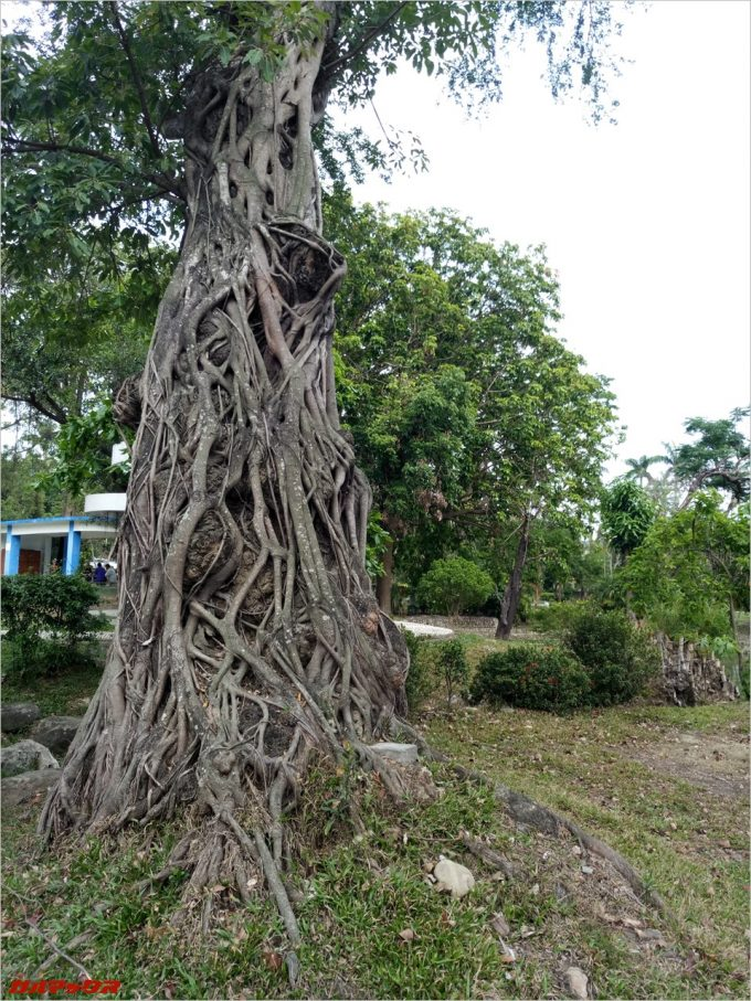 台南公園のでっかい木