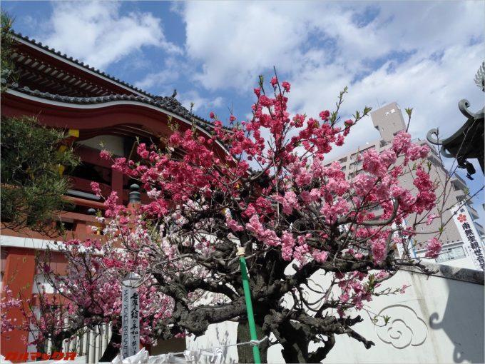 大須観音でピンクの花を撮影